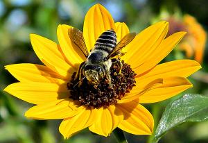 honeybees mason bees pollinators garden