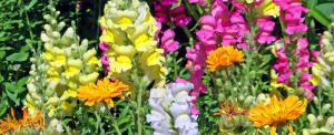 hardy spring flower blooms plants growing gardening gardener planning your ideas flowers