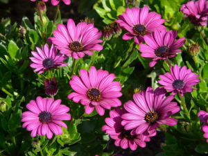 daisies daisy early spring colour planting ideas BC Chilliwack beautiful