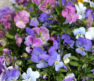early spring hardy blooms colour frost resistant pansies pansy garden growing ideas plants flower