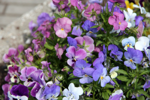 hardy early spring colour blooms flowers gardening garden planting ideas violets