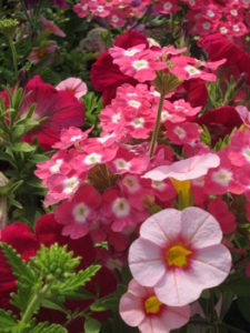 Pink Container Gardening Flowers