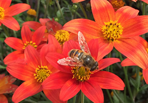 bumblebee bug pollination pollinator friendly bugs insects garden attract bees Minter BC