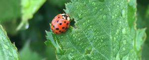 Ladybug Predator Garden Helpful Bugs Insects