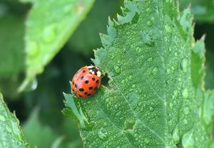 ladybug garden beneficial predators insect bugs crawlers garden care