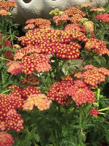 achillea, bc, minter, perennials, gardening, red, flower, colour