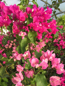 minter, minter garden, bc, flowers, tropical, bougainvillea, pink