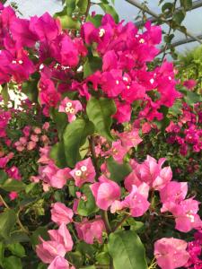 minter, minter garden, bc, flowers, tropical, bougainvillea, pink