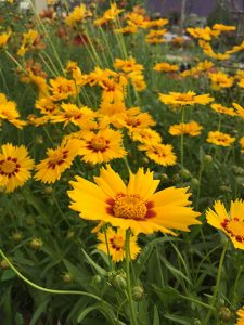 bc, minter, gardening, flower, yellow, coreopsis, colour, perennials