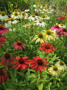 bc, minter, gardening, flower, perennials, red, purple, yellow, white, colour, echinacea
