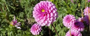 Minter: Drought Tolerant Plants, Flowers Dahlias,