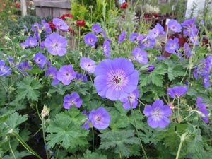 bc, minter, gardening, perennials, blue, purple, geranium, flower, colour