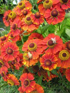 bc, minter, gardening, helenium, flower, perennials, red, colour