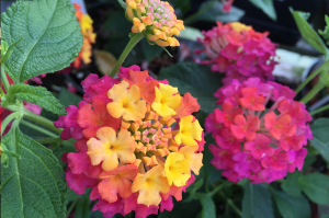Lantana camara, also known as big-sage, wild-sage, red-sage, white-sage and tickberry,