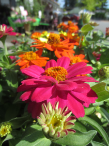 Minter blog zinnia flower summer heat loving drought resistant low water