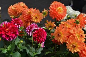 Minter: Drought Tolerant Plants, Dahlias flowers