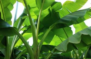 banana_shrub_plant_green_banana_plant_shrub_tropical_nature_banana_leaves