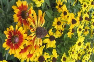 Minter: Drought Tolerant Plants, Rudbeckia Flowers