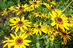 Minter: Drought Tolerant Plants, Rudbeckia Flowers