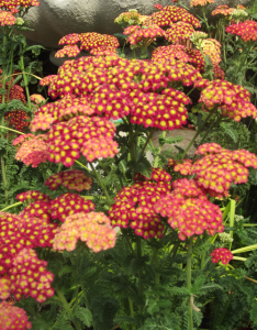 minter, bc, gardening, minter country garden, floral, butterfly, red, yellow, green, achillea