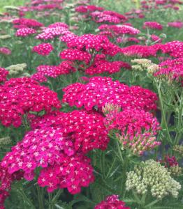 minter, bc, gardening, minter country garden, floral, butterfly, pink, achillea