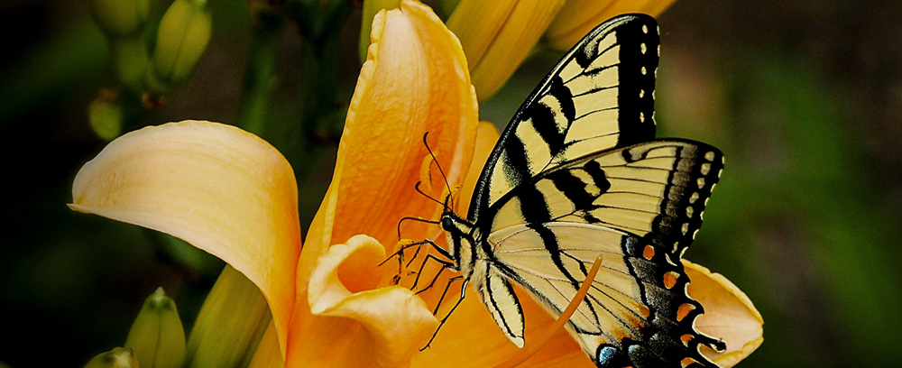 minter, bc, gardening, minter country garden, floral, butterfly, swallowtail, lily, yellow