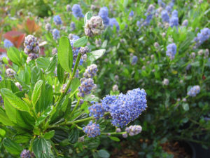 minter, bc, gardening, minter country garden, floral, butterfly, blue, california lilac, ceanothus, green