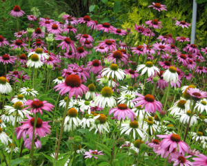 minter, bc, gardening, minter country garden, floral, butterfly, echinacea, pink, white, yellow, green