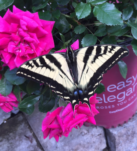 minter, bc, gardening, minter country garden, floral, butterfly, swallowtail. pink, yellow, striped, black