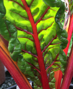 minter, gardening, bc, vegetable, winter, swiss chard, green, red, leaves