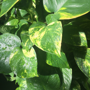 minter, bc, minter country garden, gardening, houseplant, plants, office, space, green, fresh, pothos, leaves