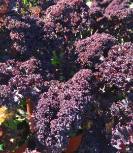 minter, gardening, bc, red, bor, kale, winter, vegetable