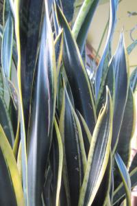 minter, bc, minter country garden, gardening, houseplant, plants, office, space, green, fresh, snake plant, leaves