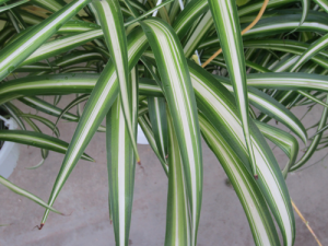 minter, bc, minter country garden, gardening, houseplant, plants, office, space, green, fresh, spider plant, leaves