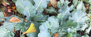 minter, bc, gardening, winter, vegetable, kale, spinach, swiss chard, broccoli, plants, garden