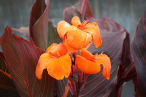minter, bc, minter country garden, british columbia, tropical, overwinter, overwintering, flower, care, canna lily, lilies, orange, red, leaves
