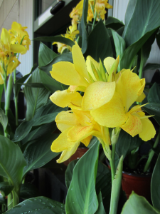 minter, bc, minter country garden, british columbia, tropical, overwinter, overwintering, flower, care, canna lily, lilies, yellow