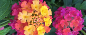 minter, bc, minter country garden, british columbia, tropical, overwinter, overwintering, flower, care, lantana, zones, colourful, rainbow, yellow, orange, pink, purple