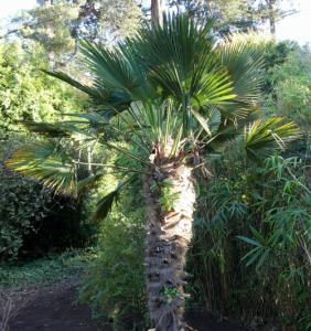 minter, bc, minter country garden, british columbia, tropical, overwinter, overwintering, flower, care, windmill palm, palm, leaves, leaf, green, greenery