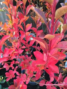minter, bc, minter country garden, british columbia, fall, foliage, ornamental, orange, yellow, red, autumn, blueberry, bush, other
