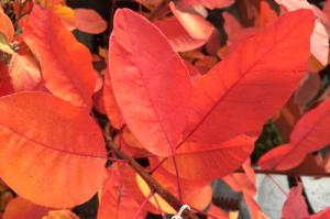 minter, bc, minter country garden, british columbia, fall, foliage, ornamental, orange, yellow, red, autumn, cotinus, grace