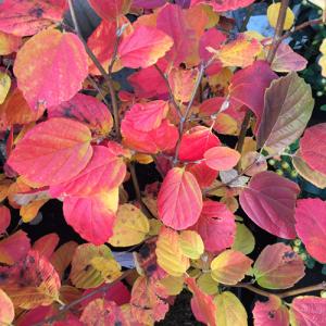 minter, bc, minter country garden, british columbia, fall, foliage, ornamental, orange, yellow, red, autumn, fothergilla gardenii