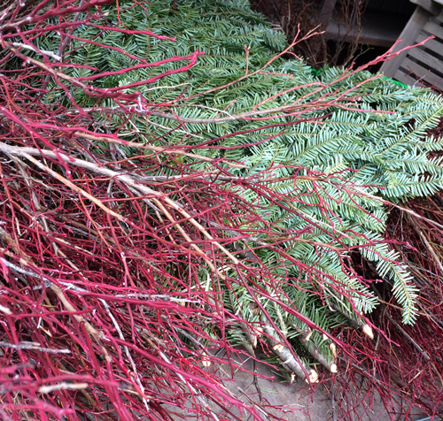 burgundy red huckleberry stems