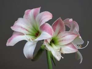 Indoor Pink and White Amaryllis Bulbs