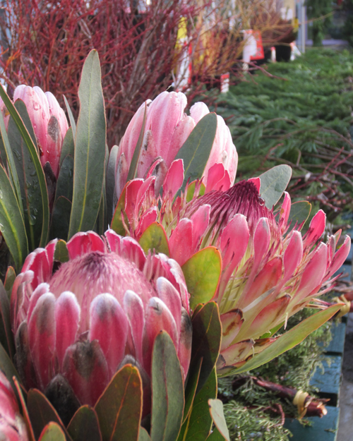 showy colourful proteas