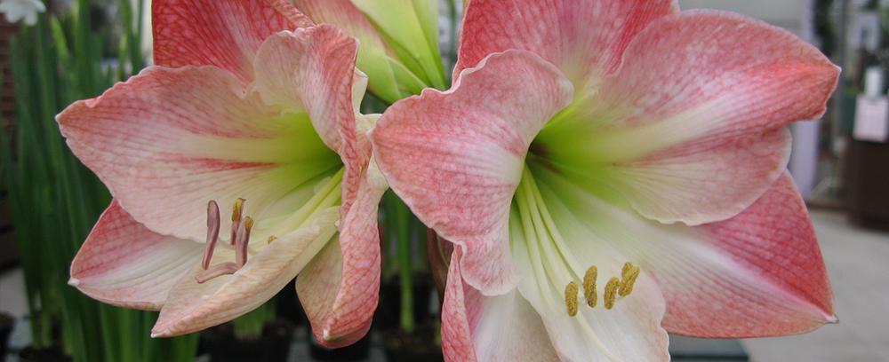 pink and white amaryllis bulbs
