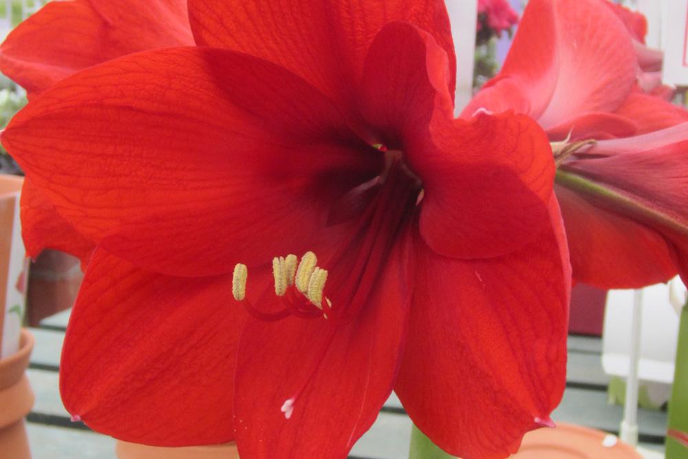 Christmas Red Amaryllis Bulb