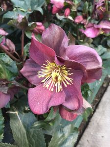 Ice and Roses Hellebore