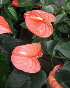 pink beacutiful Anthuriums flowers