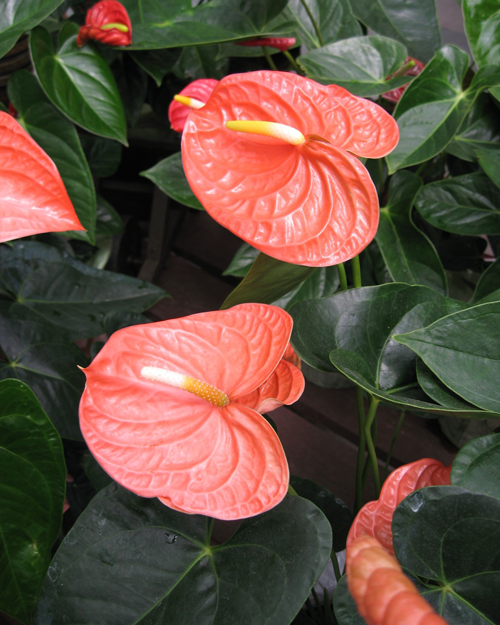 pink blooming Anthuriums flowers